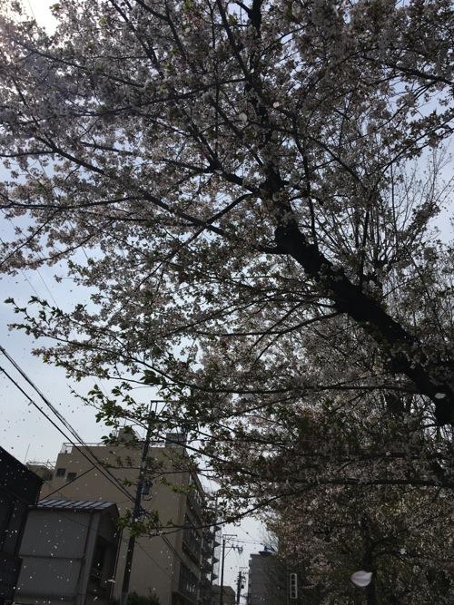 sakura_f1.jpg